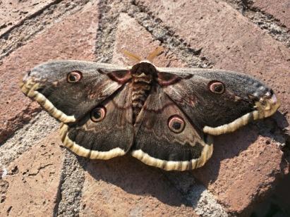 PeacockButterfly